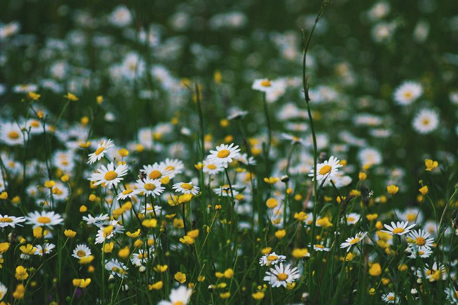 フリー写真 バターカップとヒナギクの花