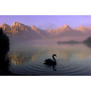 フリー写真, 風景, 自然, 湖, 霧(霞), 山, 動物, 鳥類, 鳥(トリ), 白鳥(ハクチョウ)
