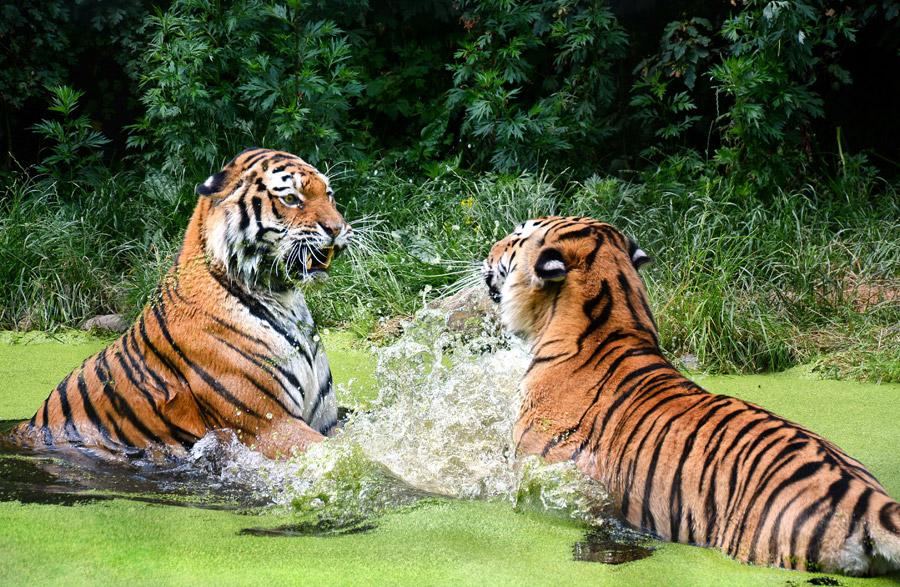 フリー写真 池の中で戦うトラ