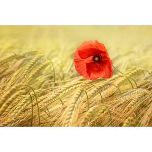 フリー写真, 植物, 花, ヒナゲシ(ポピー), 赤色の花, 作物, 穀物, 麦(ムギ), 小麦(コムギ), 畑