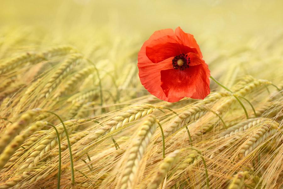 フリー写真 小麦畑に咲くヒナゲシの花