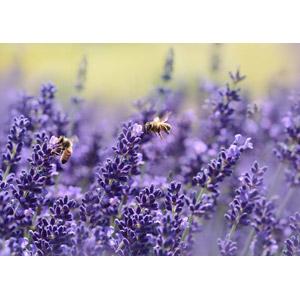 フリー写真, 植物, 花, ラベンダー, 紫色の花, 動物, 昆虫, 蜂(ハチ), 蜜蜂(ミツバチ)