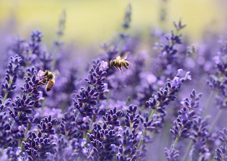 フリー写真 ラベンダーの花とミツバチ
