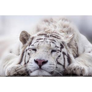 フリー写真, 動物, 哺乳類, 虎(トラ), ホワイトタイガー