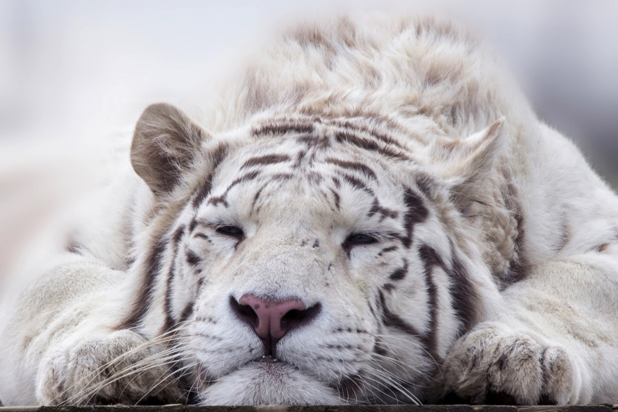 フリー写真 寝ているホワイトタイガー