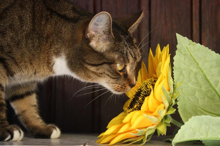 フリー写真 ひまわりの匂いを嗅ぐ猫