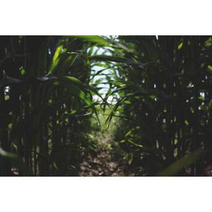 フリー写真, 風景, 畑, 作物, 穀物, とうもろこし(トウモロコシ)