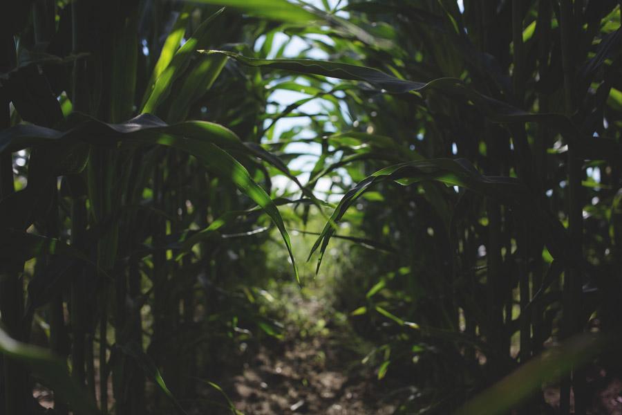 フリー写真 とうもろこし畑の中の風景