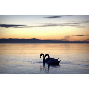 フリー写真, 風景, 自然, 湖, 夕暮れ(夕方), 夕焼け, 動物, 鳥類, 鳥(トリ), 白鳥(ハクチョウ), カップル(動物)