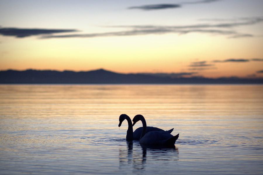 フリー写真 夕暮れの湖に浮かぶ白鳥のカップル
