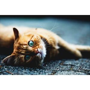 フリー写真, 動物, 哺乳類, 猫(ネコ), 目を見開く(動物), 茶トラ猫