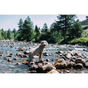 フリー写真, 動物, 哺乳類, 犬(イヌ), プードル, 河川