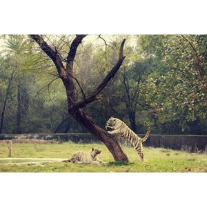 フリー写真, 動物, 哺乳類, 虎(トラ), ホワイトタイガー, ジャンプ(動物), 樹木