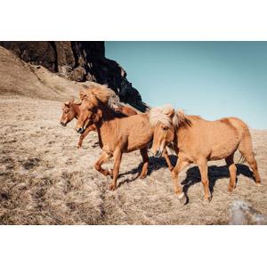 フリー写真, 動物, 哺乳類, 馬(ウマ)