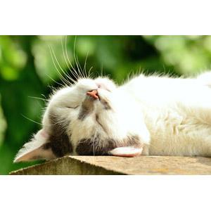 フリー写真, 動物, 哺乳類, 猫(ネコ), 寝る(動物)