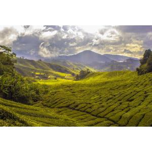 フリー写真, 風景, 畑, 作物, お茶, 田舎, 雲, マレーシアの風景