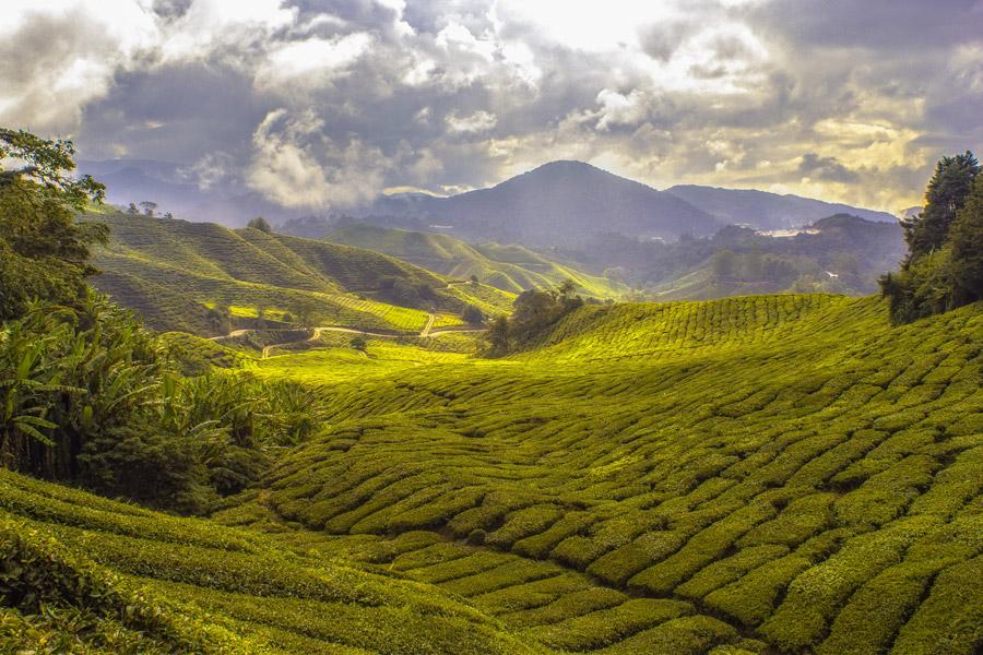 フリー写真 マレーシアのお茶畑