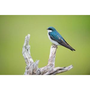 フリー写真, 動物, 鳥類, 鳥(トリ), 燕(ツバメ)