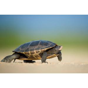 フリー写真, 動物, 爬虫類, 亀(カメ)