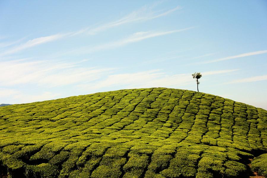 フリー写真 インドの茶畑と一本の木の風景