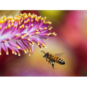 フリー写真, 動物, 昆虫, 蜂(ハチ), 蜜蜂(ミツバチ), 植物, 花