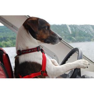 フリー写真, 動物, 哺乳類, 犬(イヌ), ジャック・ラッセル・テリア, 乗り物, 船