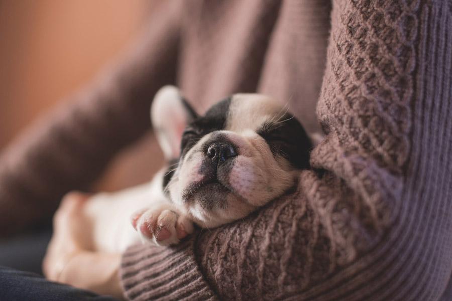 フリー写真 飼い主の腕に抱かれて眠る子犬のフレンチブルドッグ