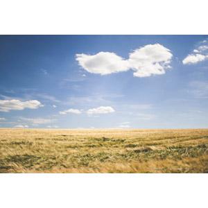 フリー写真, 風景, 青空, 雲, 畑, 作物, 穀物, 麦(ムギ), ドイツの風景