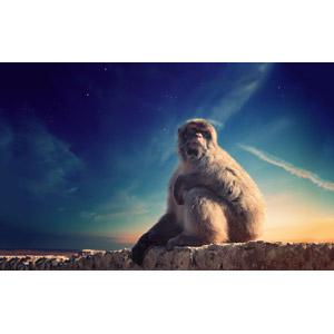 フリー写真, 動物, 哺乳類, 猿(サル), バーバリーマカク, 日暮れ