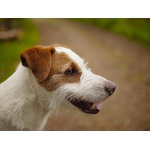 フリー写真, 動物, 哺乳類, 犬(イヌ), ジャック・ラッセル・テリア