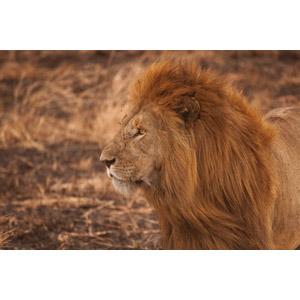 フリー写真, 動物, 哺乳類, ライオン