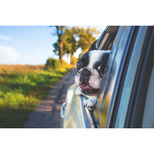 フリー写真, 動物, 哺乳類, 犬(イヌ), 子犬, フレンチ・ブルドッグ, 子供(動物), 自動車, ドライブ