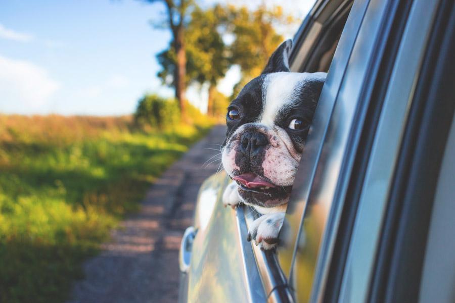 フリー写真 車の窓から顔を出すフレンチブルドッグ