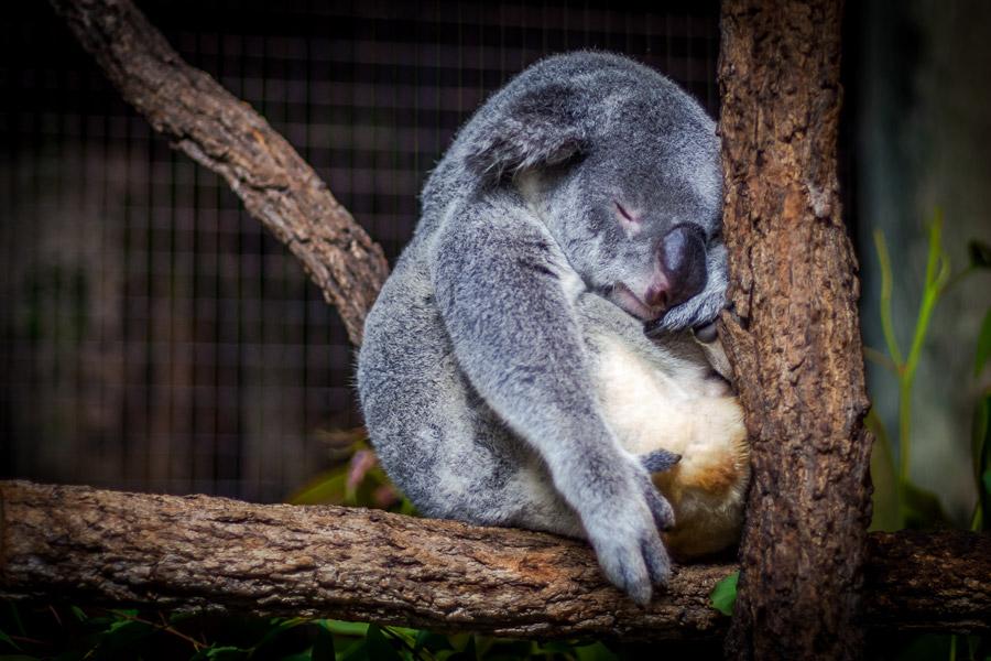 フリー写真 木の上で寝ているコアラ
