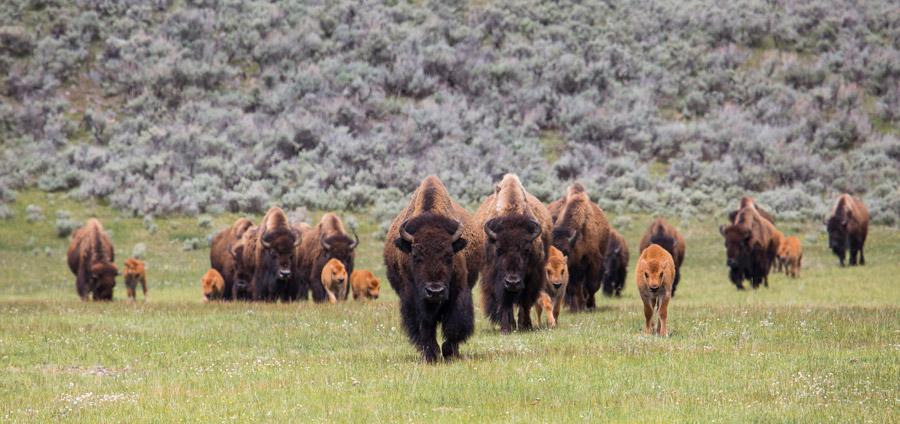 フリー写真 アメリカバイソンと子牛の群れ