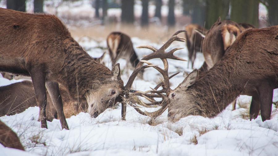 フリー写真 決闘中の鹿