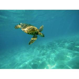 フリー写真, 動物, 爬虫類, 亀(カメ), ウミガメ, 水中, 海