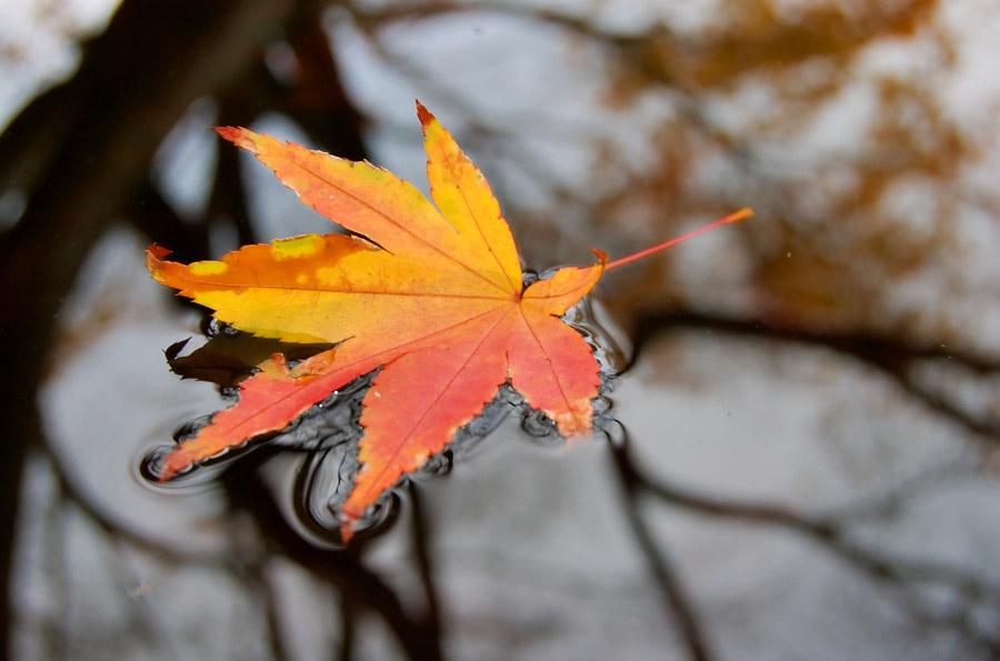 フリー写真 水面に浮かぶもみじの落ち葉
