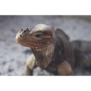 フリー写真, 動物, 爬虫類, イグアナ