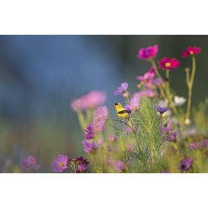 フリー写真, 動物, 鳥類, 鳥(トリ), オウゴンヒワ, 植物, 花, コスモス(秋桜), 花畑, ピンク色の花