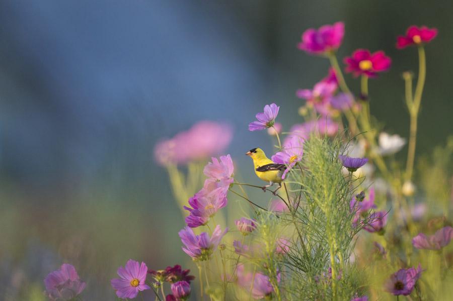 フリー写真 コスモスの花とオウゴンヒワ
