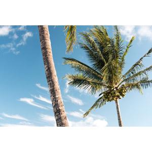 フリー写真, 風景, 自然, 樹木, 椰子(ヤシ), 青空, 南国