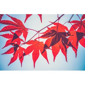 フリー写真, 植物, 葉っぱ, もみじ(カエデ), 紅葉(黄葉), 秋, 赤色(レッド)