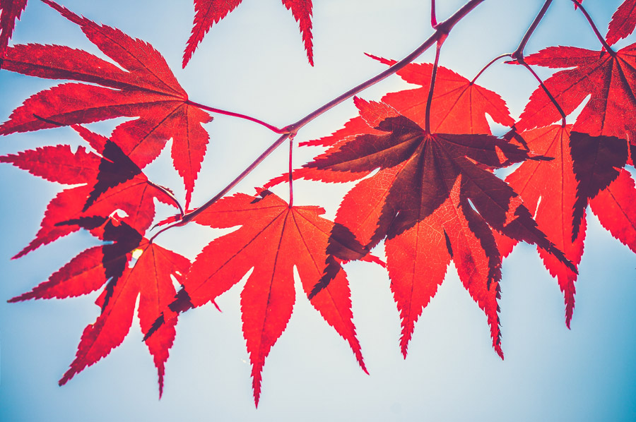 フリー写真 紅葉した楓の葉