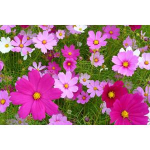 フリー写真, 植物, 花, コスモス(秋桜), ピンク色の花, 秋