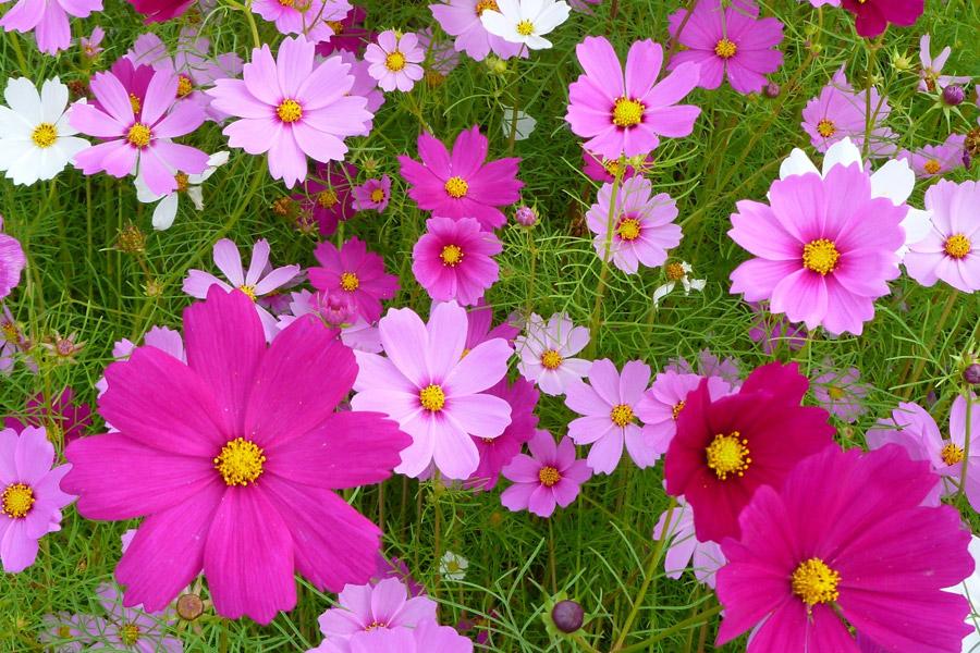 フリー写真 一面に咲いたコスモスの花