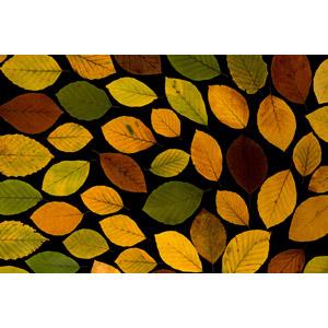 フリー写真, 植物, 葉っぱ, 落葉(落ち葉), 紅葉(黄葉), 秋