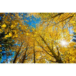 フリー写真, 風景, 自然, 樹木, 葉っぱ, 紅葉(黄葉), 秋, 太陽光(日光), 黄色(イエロー)
