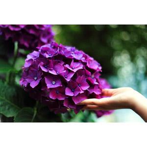 フリー写真, 人体, 手, 植物, 紫陽花(アジサイ), 花, 紫色の花, 梅雨, 6月
