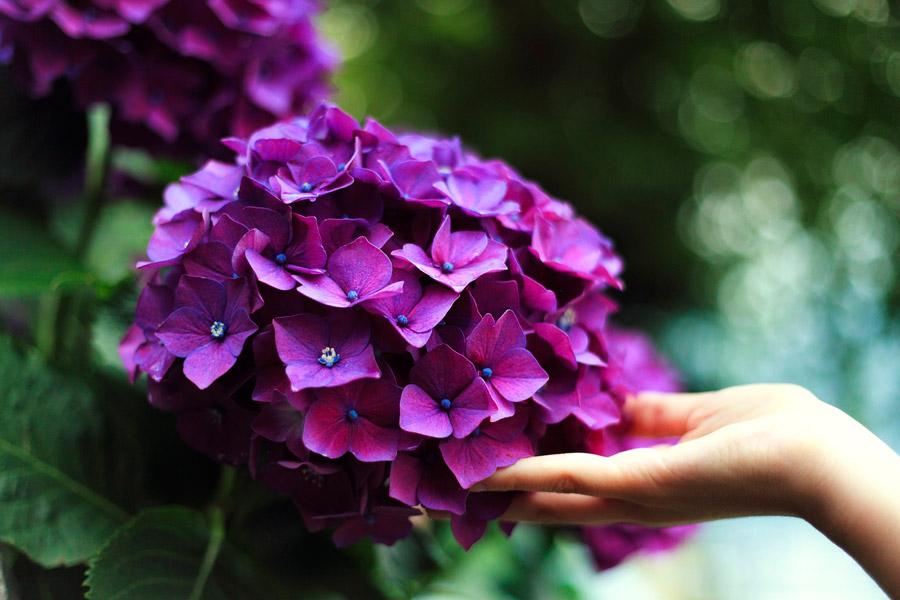 フリー写真 紫陽花に触れる手